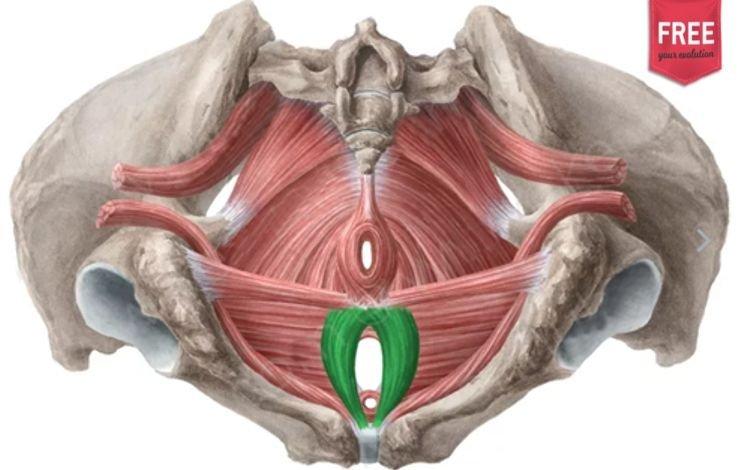 O Períneo e a sua anatomia